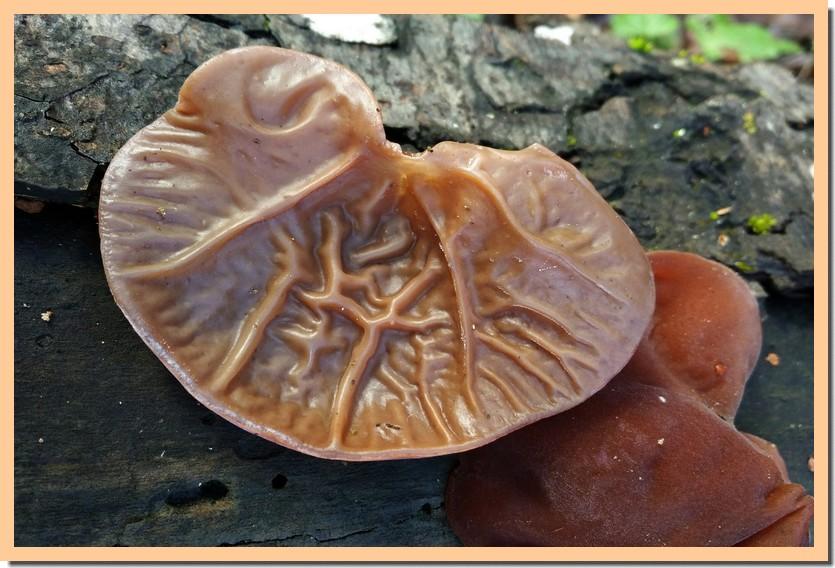 auricularia auricula-judae 20.jpg