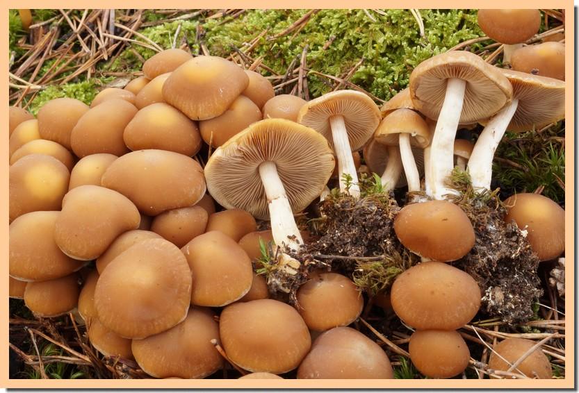 psathyrella piluliformis 16.jpg