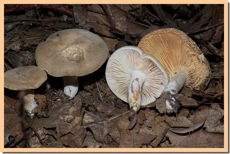 lactarius acris.jpg
