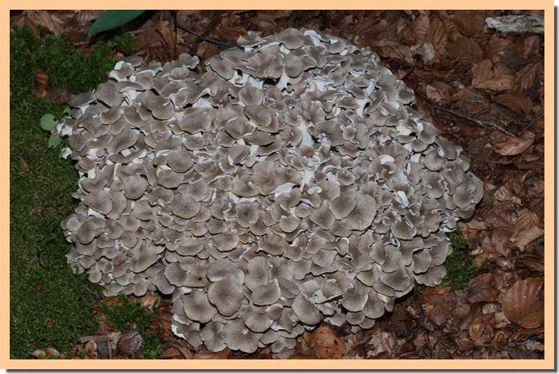 dendropolyporus umbellatus 17~01.jpg