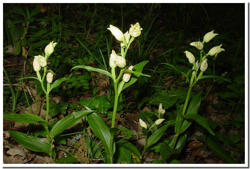 cephalanthera damasonium2.jpg