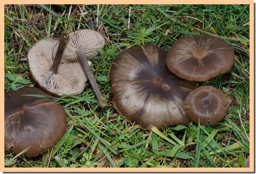 entoloma sericeum 14.jpg