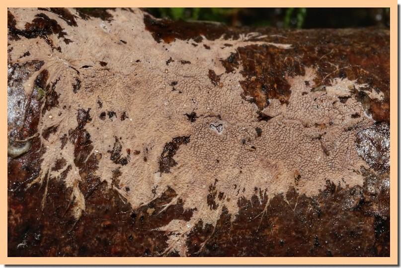 steccherinum fimbriatum 18.jpg