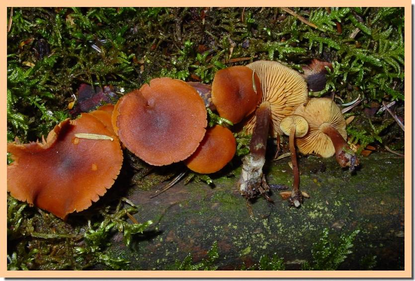 gymnopilus liquiritiae2.jpg