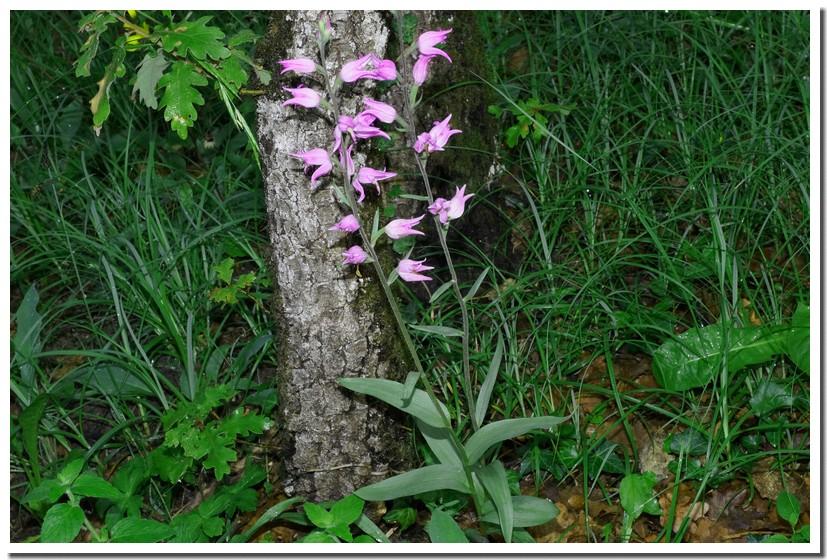 cephalanthera rubra 16.jpg