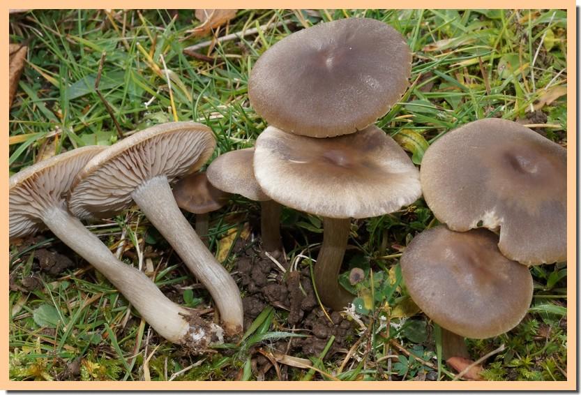 entoloma nidorosum 14.jpg