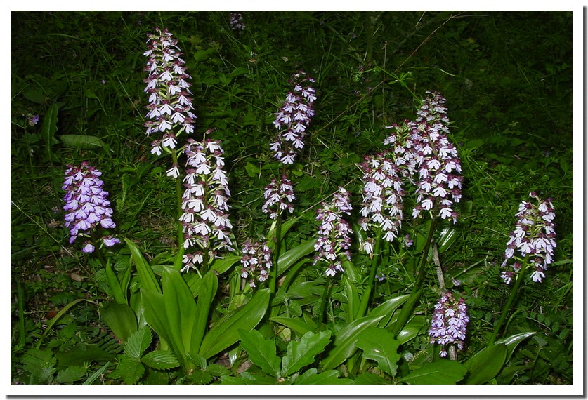 orchis pourpres.jpg