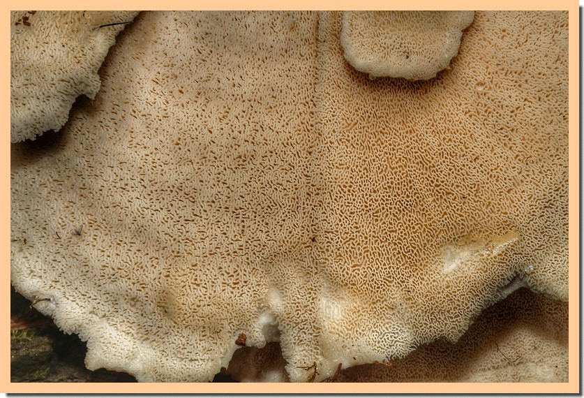 grifola frondosa 181.jpg