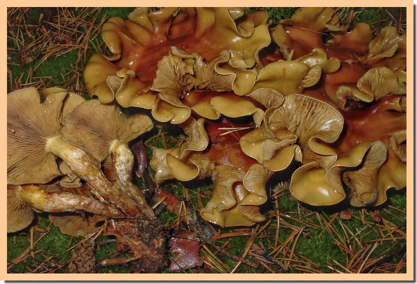 pholiota pinicola-01.jpg