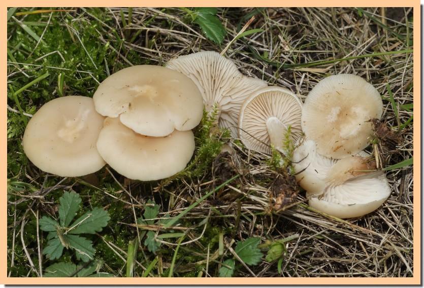 clitocybe graminicola 20.jpg