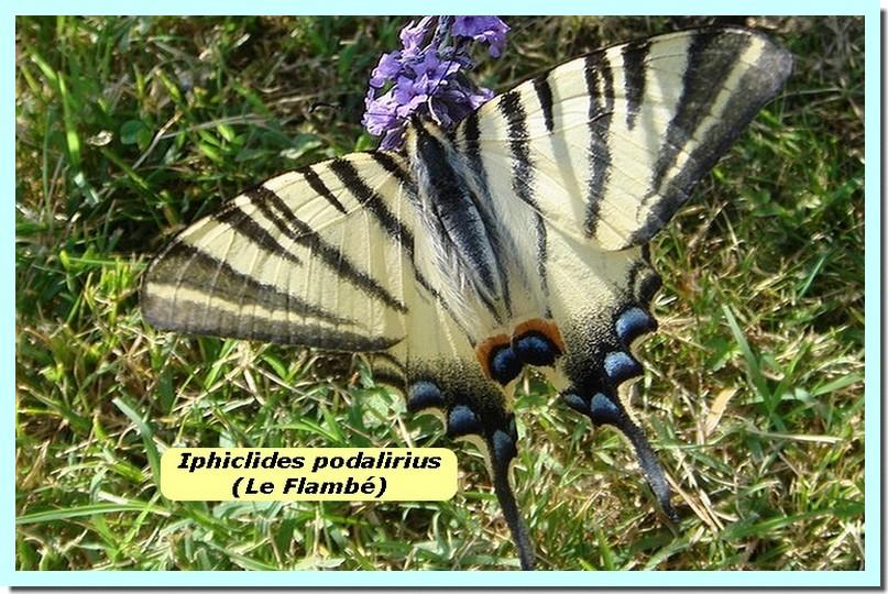 Iphiclides podalirius1 _Flambe_.jpg
