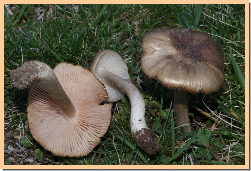 entoloma clypeatum 11.jpg