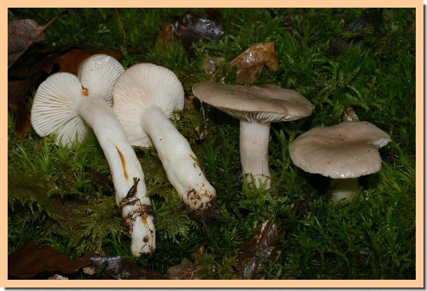 lactarius albocarneus5.jpg