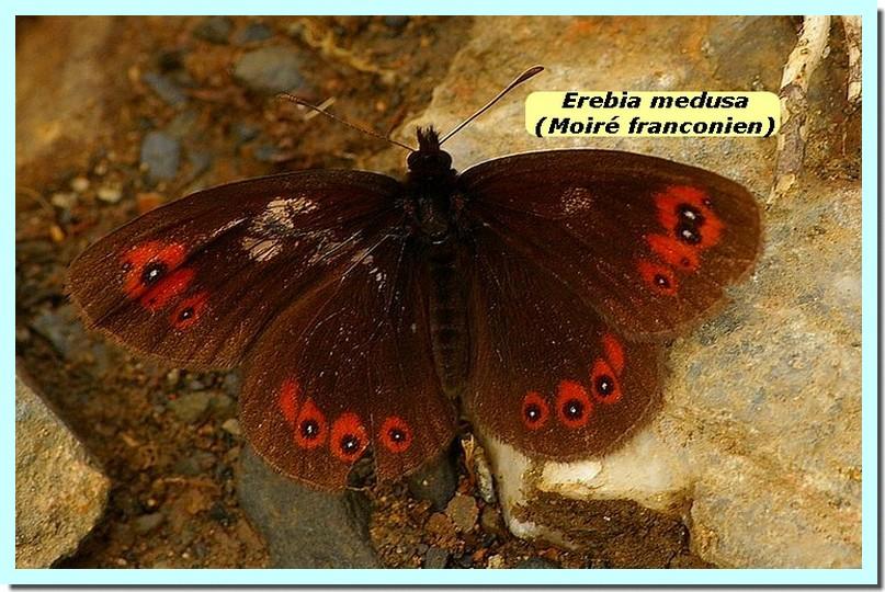 Erebia medusa1a _Moire franconien_.jpg
