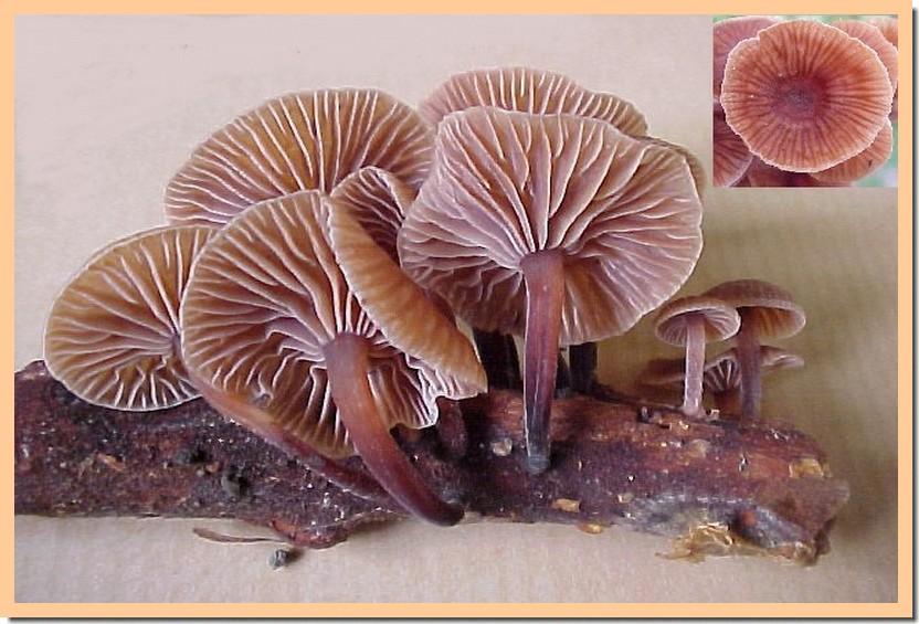 gymnopus foetidus.jpg