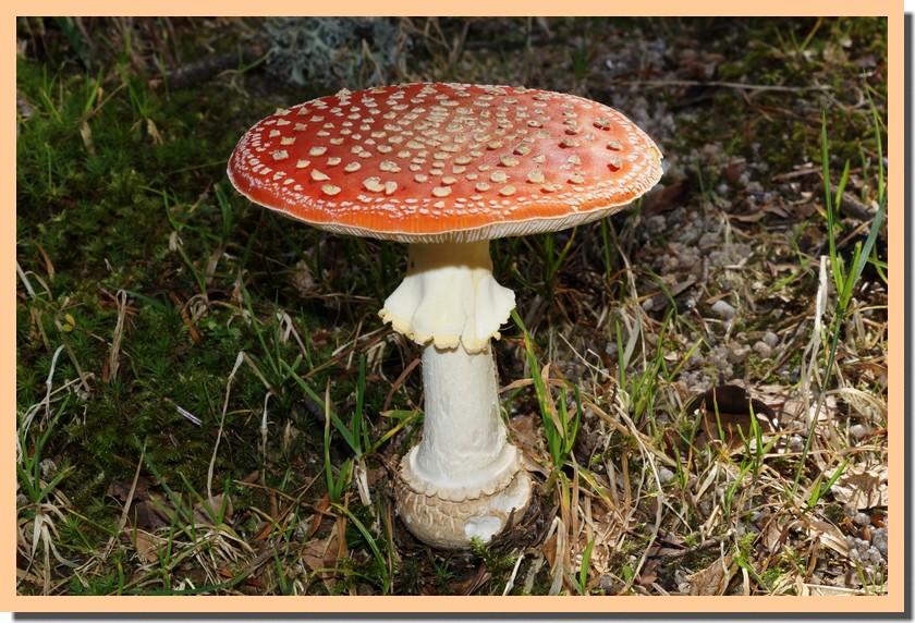 amanita muscaria 13.jpg