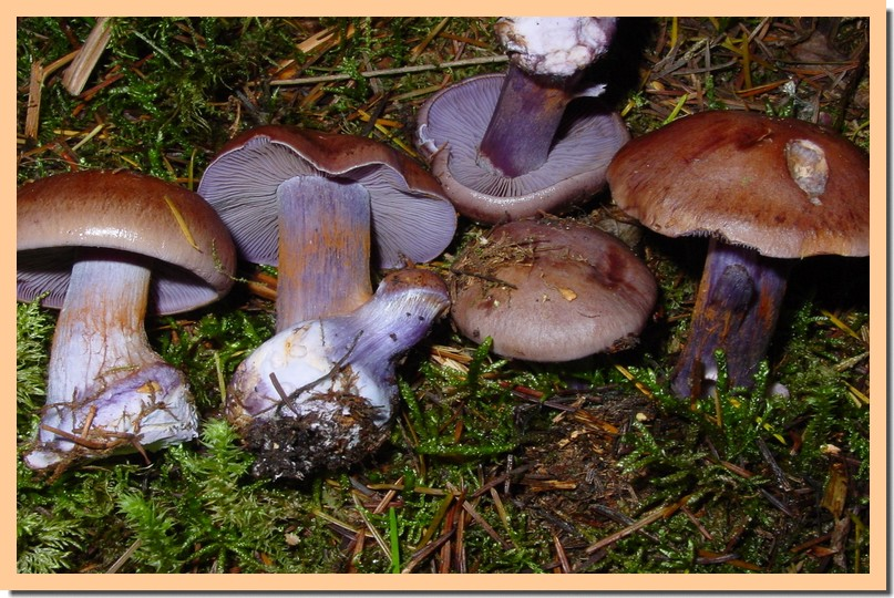 cortinarius purpurasens3.jpg