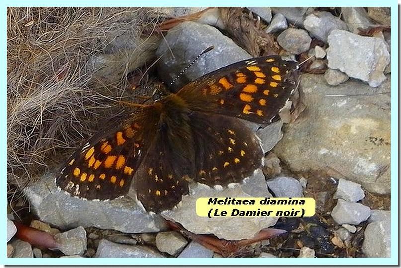 Melitaea diamina1 _Damier noir_.jpg