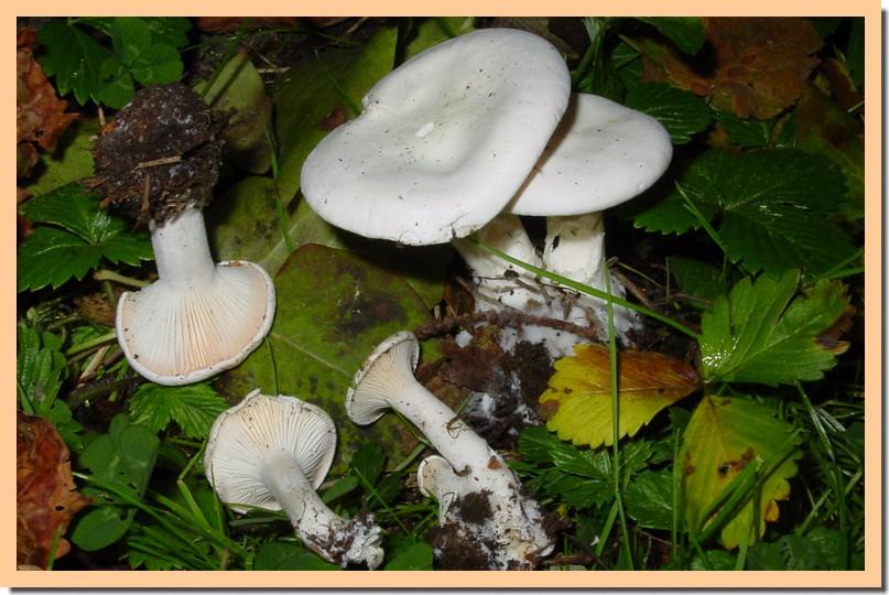 leucopaxillus rhodoleucus.jpg
