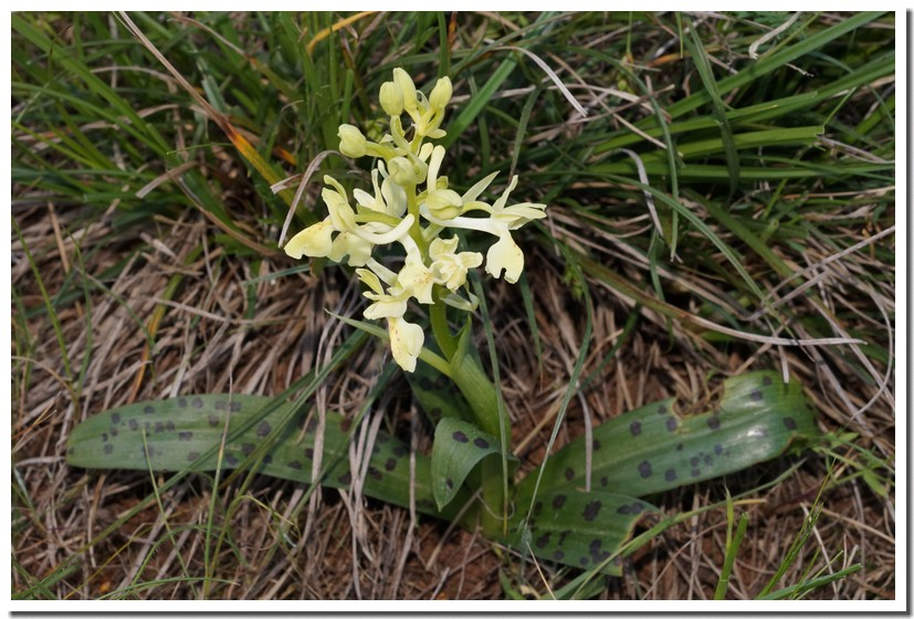 orchis provincialis.jpg