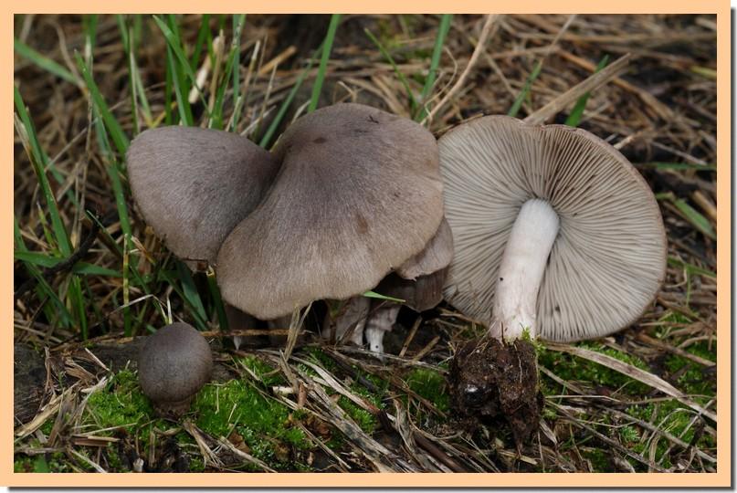 psathyrella melanthina2.jpg