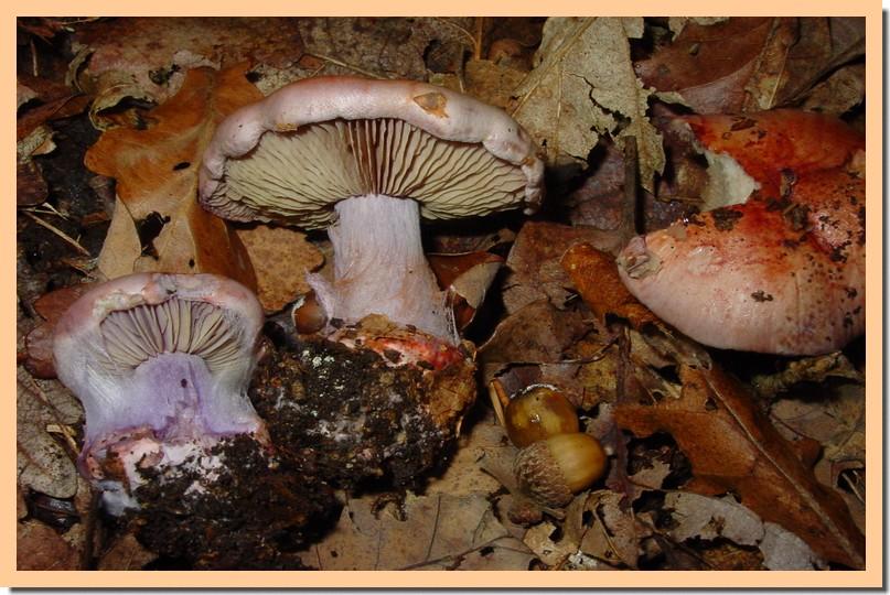 cortinarius rufoolivaceus.jpg