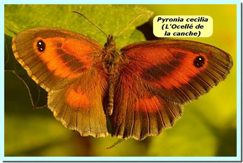 Pyronia cecilia1 _Ocellé de la canche_.jpg