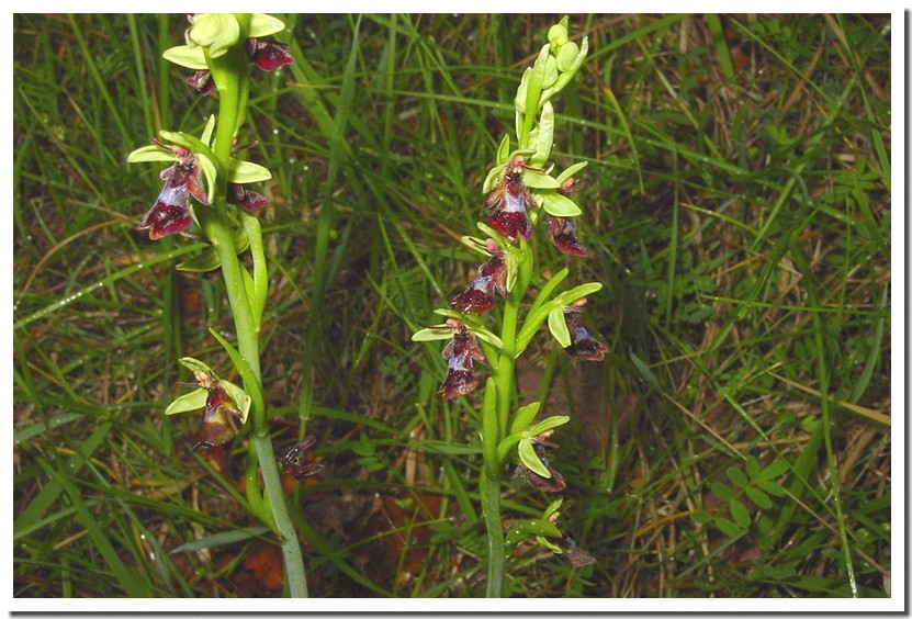 ophrys insectifera.jpg
