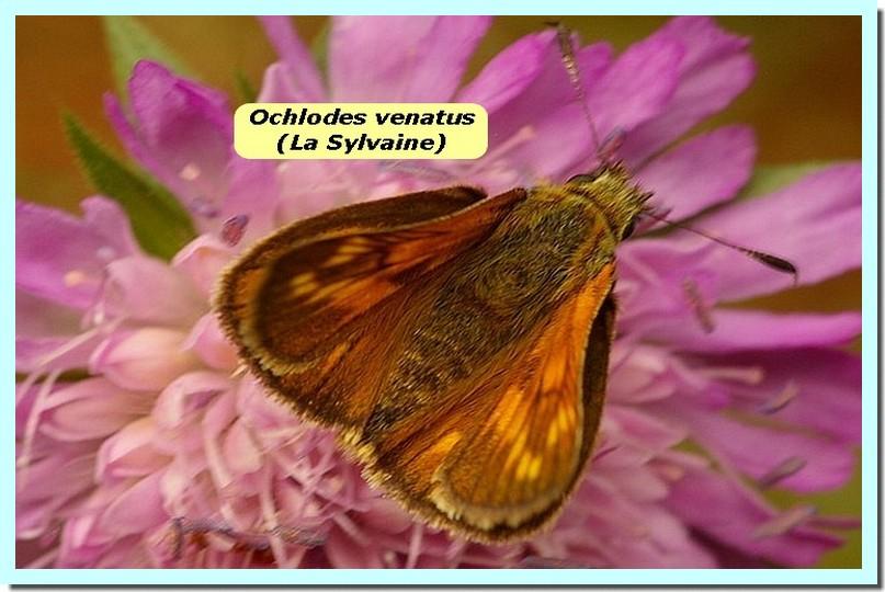 Ochlodes venatus1 _Sylvaine_.jpg
