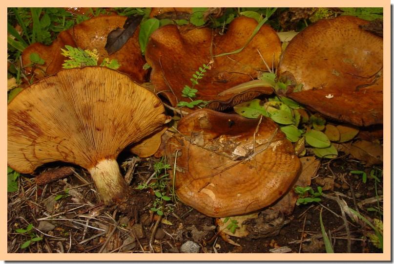 paxillus rubicundulus.jpg