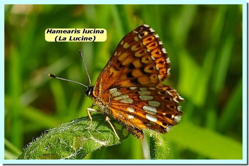 Hamearis lucina1 _Lucine_.jpg