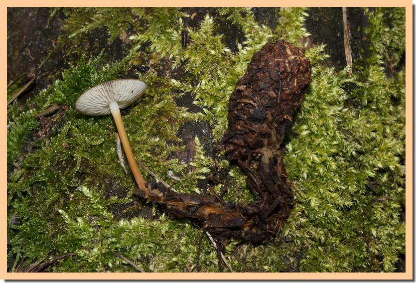 strobilurus tenacellus 21.jpg
