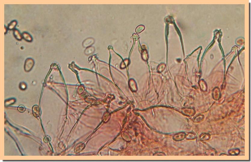 psathyrella sarcocephala mycro 20.jpg