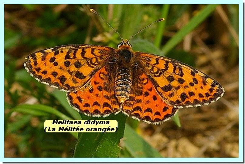 Melitaea didyma1d _Melitee orangee_.jpg