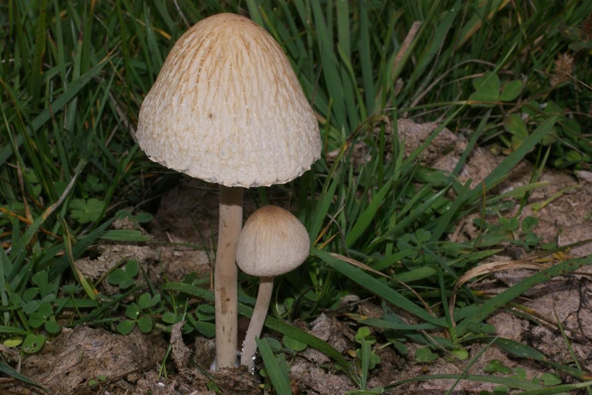 panaeolus phalaenarum.jpg