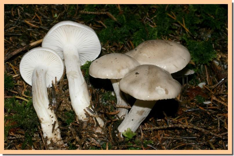 hygrophorus agatosmus2.jpg