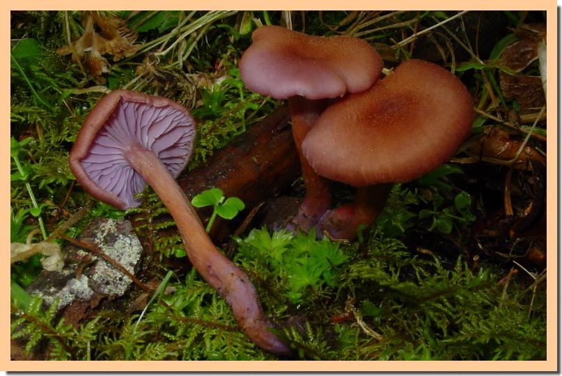 laccaria bicolor.jpg