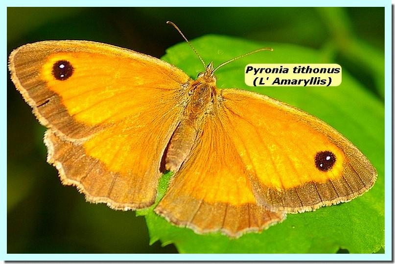 Pyronia tithonus1a_Amaryllis_.jpg