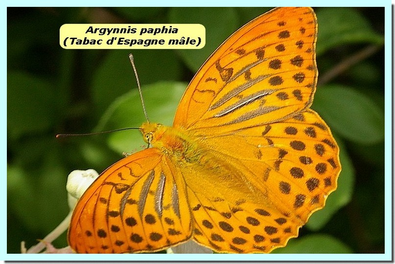 Argynnis Paphia1a _Tabac_.jpg