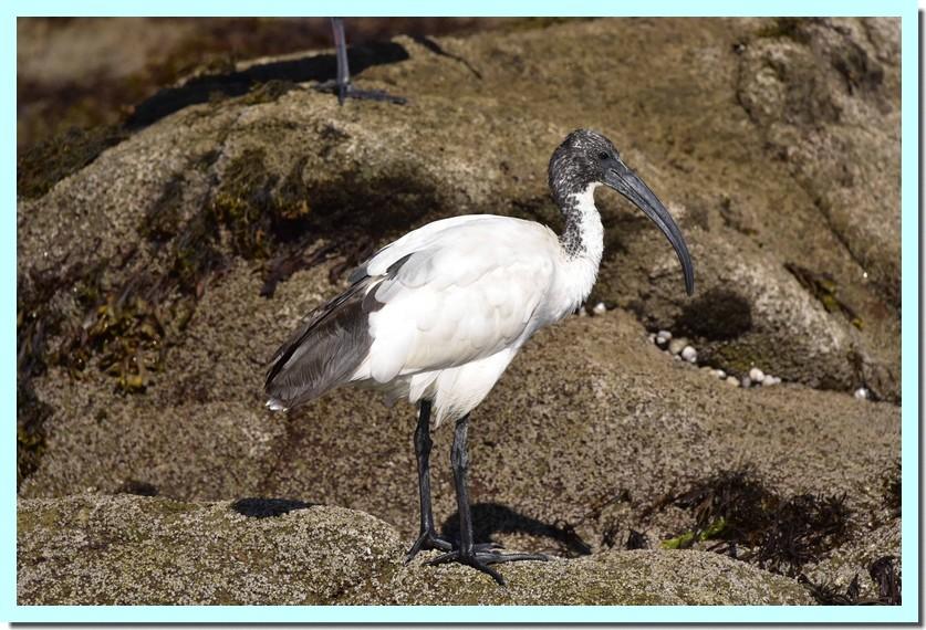 ibis sacré.jpg