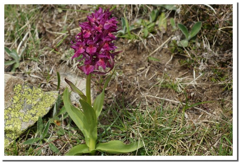 orchis sureau.jpg