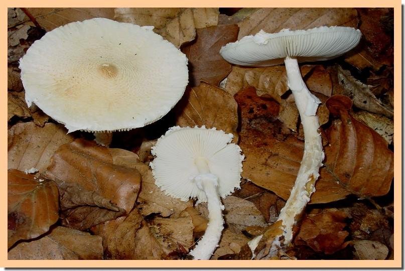 lepiota ochraceosulfurescens.jpg