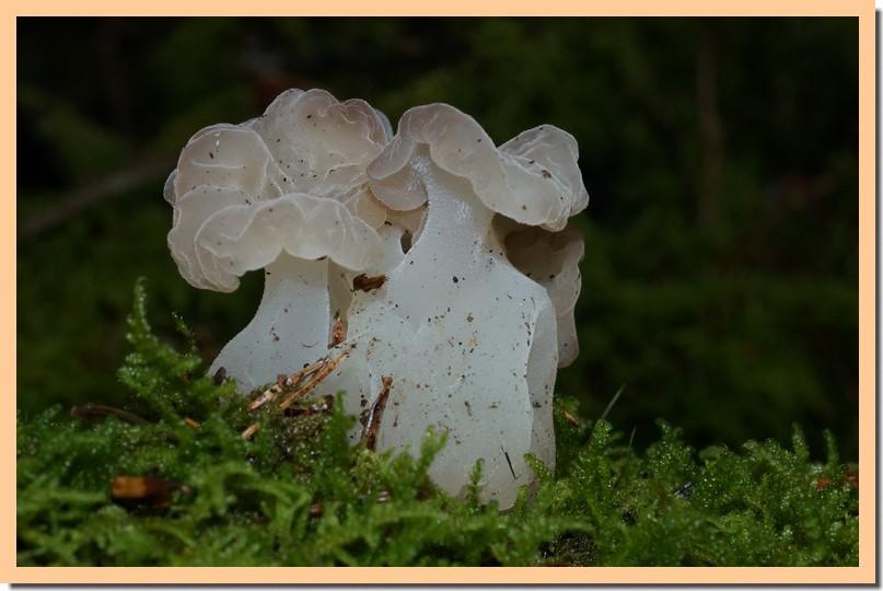pseudohydnellum gelatinosum 17.jpg