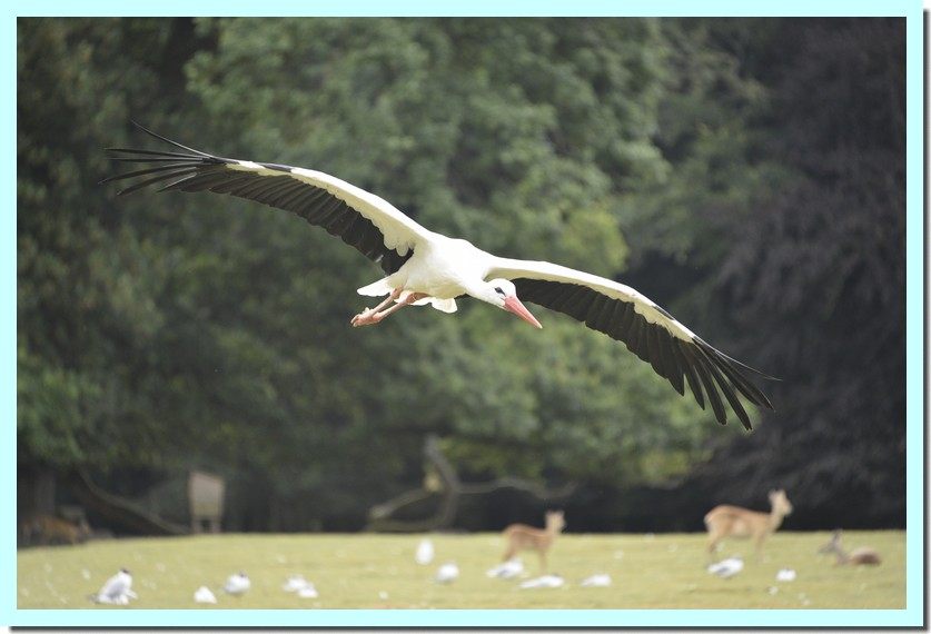 cigogne blanche.jpg