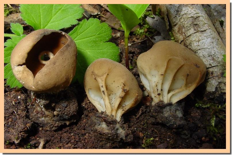 helvella acetabulum.jpg