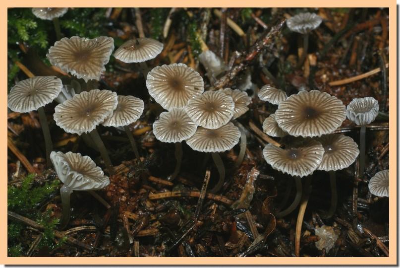 mycena vulgaris.jpg