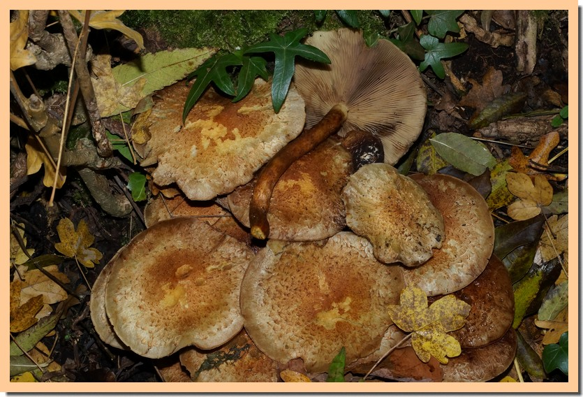 pholiota limonella 15.jpg