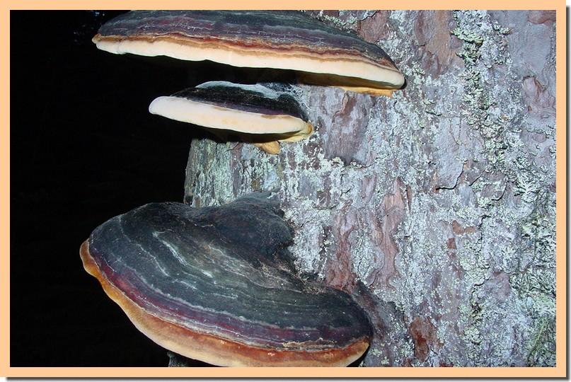 fomitopsis pinicola.jpg