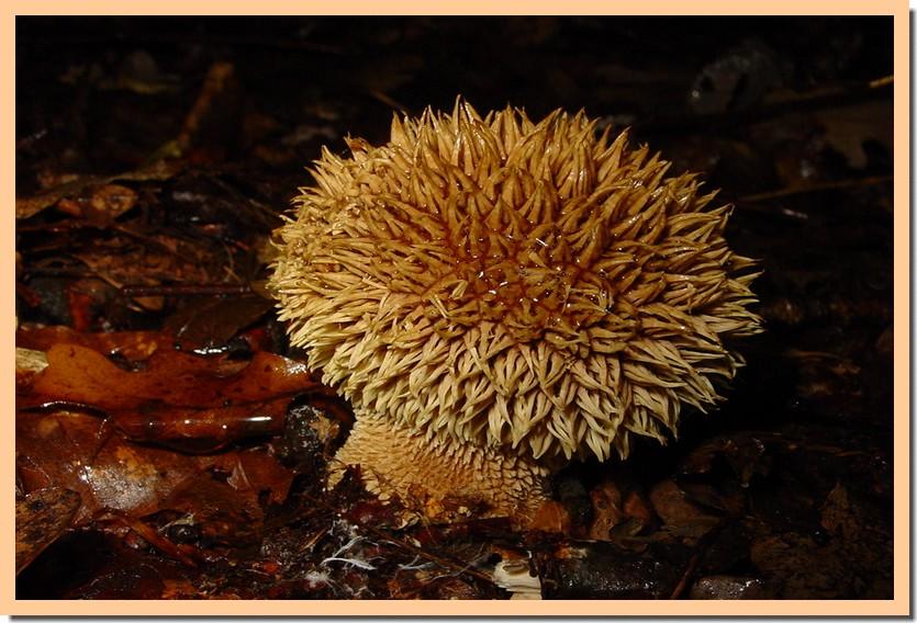 lycoperdon echinatum.jpg