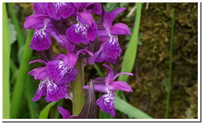 dactylorhiza majalis3.jpg